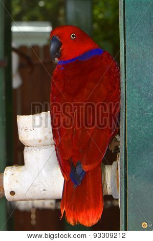 Red-sided Eclectus Parrot Latin name Eclectus roratus polychloros