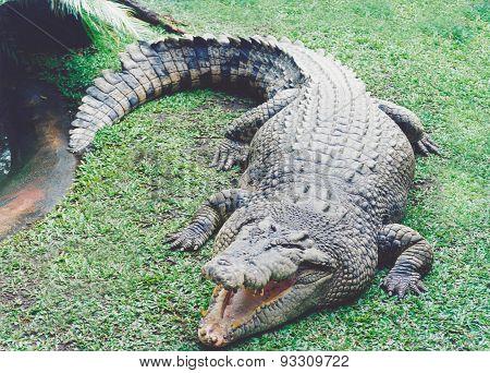 Australian Fresh Water Crocodile