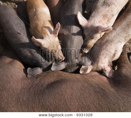 Piglets suckling from mother