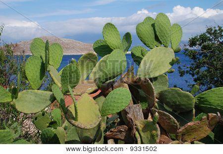 Prickly pear cactus, Halki island