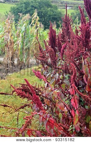 Red Amaranth Stalks With Withered Corn Stalks In The Background