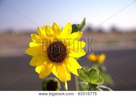 Sunflower  Roadside