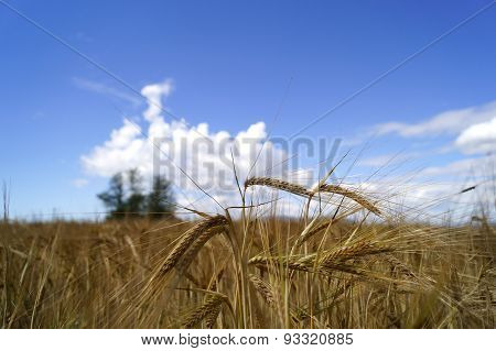 Wheat trough the clouds