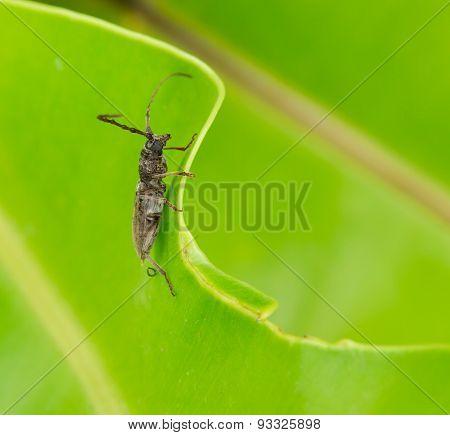 Stag Beetle On Leaf Background.