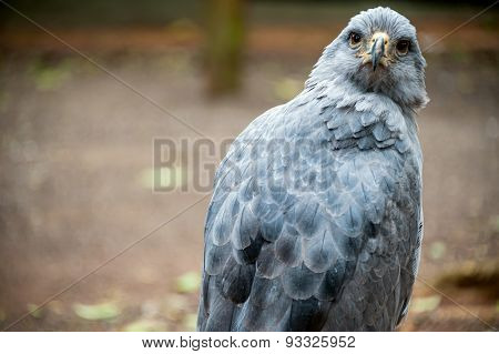 Crowned Solitary Eagle, Puerto Iguazu, South America