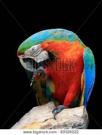 Close Up Lovely Acting Face And Bill Of Red Scralet Macaw Birds Perching On Dry Wood Against Black B