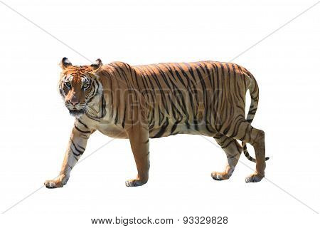 Close Up Face Of Bengal Tiger Isolated White Background