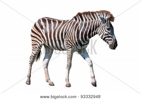Side View Full Body Of African Zebra Standing Isolated White Background Use For Animals In Safari Th
