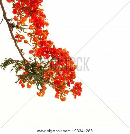 Flamboyant On White Isolate Background.