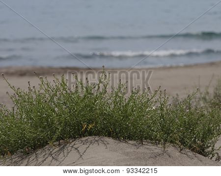 Plant Growing In Sand By Sea