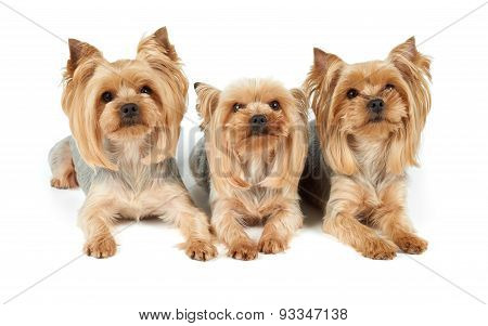 Three Groomed Dogs Over White