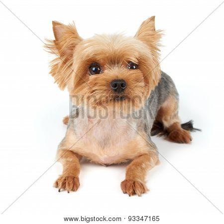 Yorkie With Short Haircut