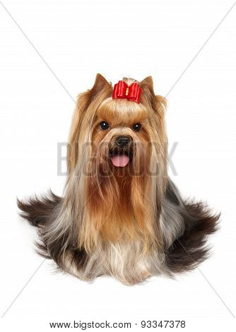 Yorkshire Terrier Of Show Class
