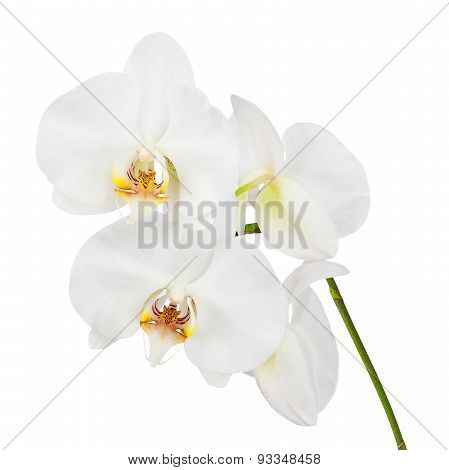 Flowers Orchids Isolated On White Background.