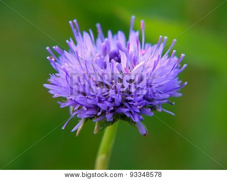 A blue field flower