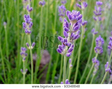flowers of nasturtium