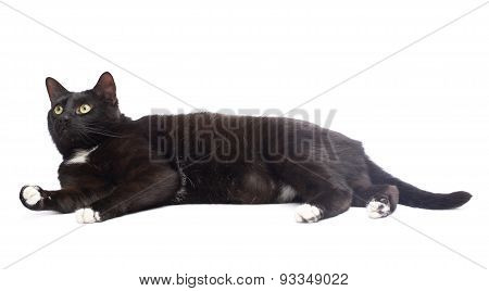 Black cat isolated
