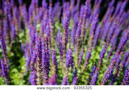 Purple Blooming Woodland Sage From Close