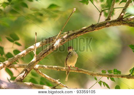 Dark-necked Tailorbird