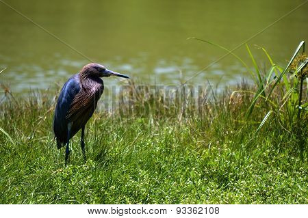 Heron in St Petersburg, Florida, USA