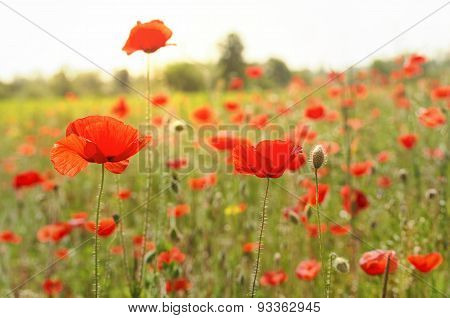 Poppy Field On A Summer Day