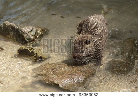 Coypu In Water