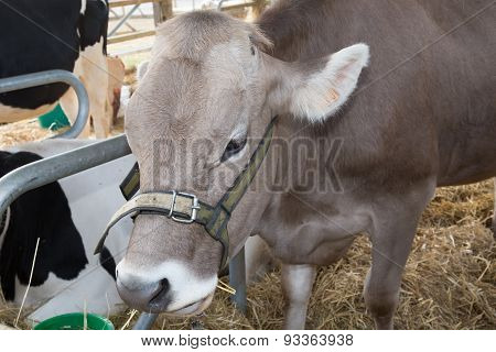 Head Of A Cow Inside In The Farm