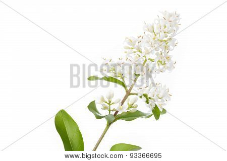 Blooming Ligustrum shrub on white background