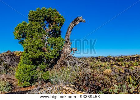 Interesting Cedar Tree in the Deserts of New Mexico.