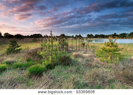 Sunset Light Over Little Spruce Trees