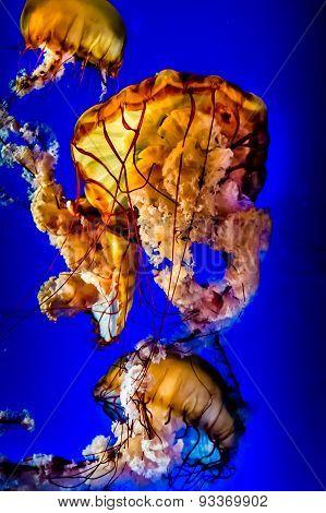 Orange Pacific Sea Nettle Jellyfish