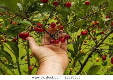 Farmer Checking His Cherry Trees Before Harvest