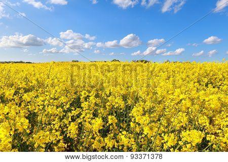 Oilseed Flower Field Over Blue Sky