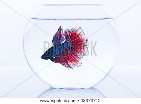 Siamese Fighting fish in fishtank