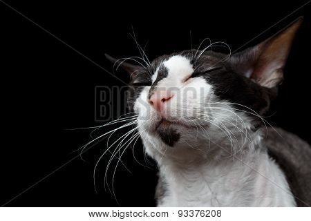Closeup Portrait of Cornish Rex with closed Eyes Isolated on Black