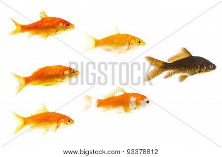 black goldfish leading golden ones