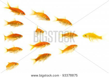yellow goldfish confronting other goldfishes