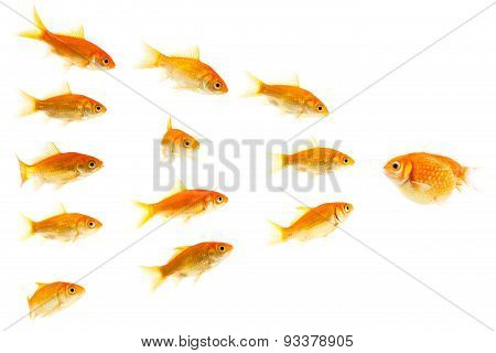 fat goldfish confronting slim goldfishes