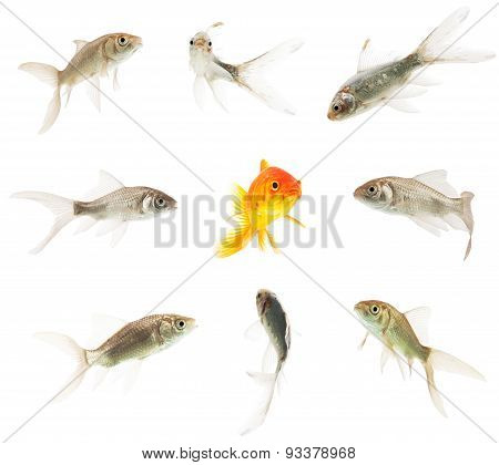 beautiful colorful goldfish surrounded by ugly grey goldfishes