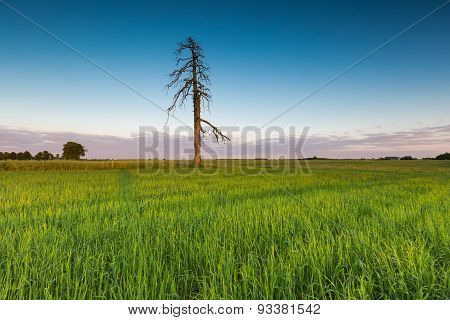Green Rye Field At Sunset. Rural Landscape