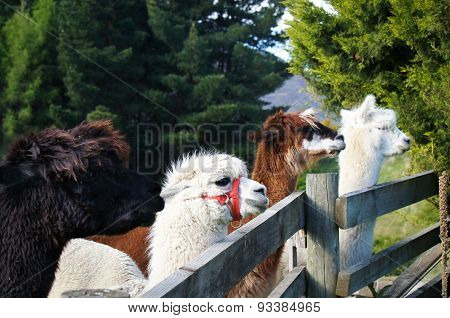 Four alpacas (black, white and brown) in a row