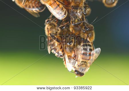 Closeup of bees hanging on honeycomb in apiary