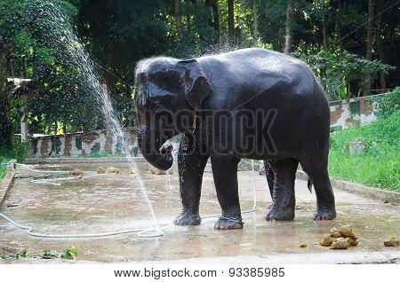 Elephant bathing and splashing water on itself