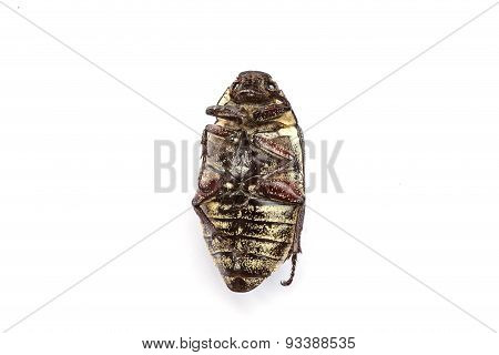 Dead Cockchafer Isolated On White Background