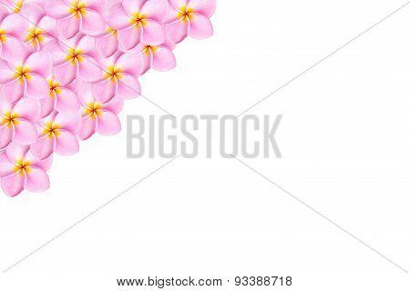 Close Up Pink Frangipani Flower Isolated On White