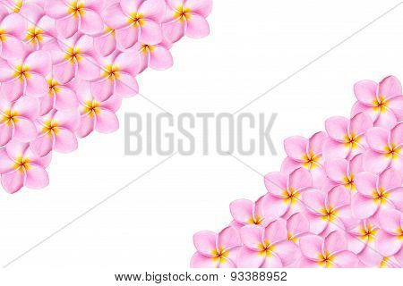 Close Up Pink Frangipani Flower Isolated On White