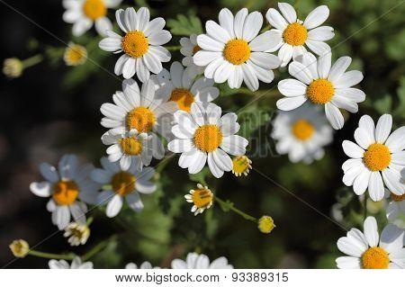 Feverfew Flowers (tanacetum Parthenium).