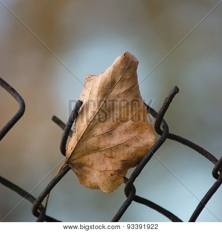 Fallen Yellow Autumn Linden Limetree Leaf Caught On Rusty Wire Mesh Fence, Large Detailed Macro