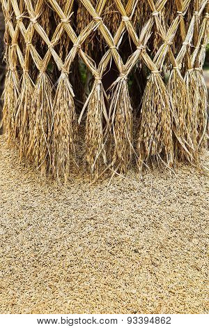 Paddy Or Rice Grain (oryza)