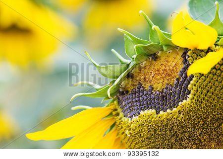 Floor Sunflower Seed Is Still On The Flowers.